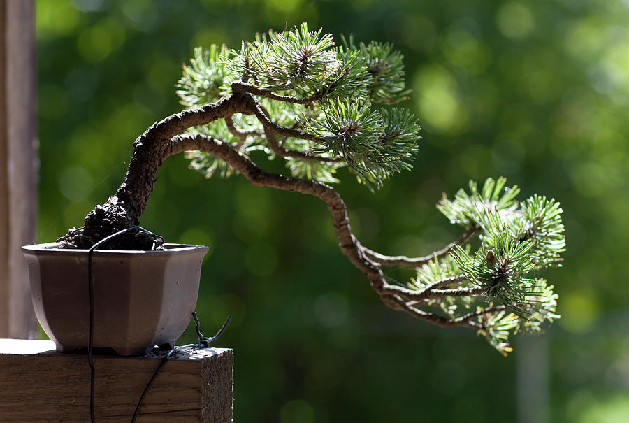 Close Up Of Single Bonsai Tree By A Photograph By Rocksunderwater