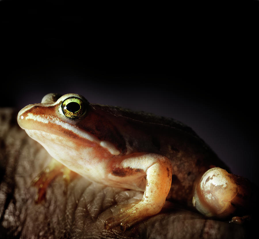 Close Up Of Small Frog Photograph by Henrik Sorensen