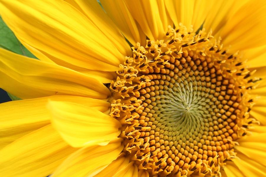 Close-up Of Sunflower Photograph by Andreas Naumann / Eyeem