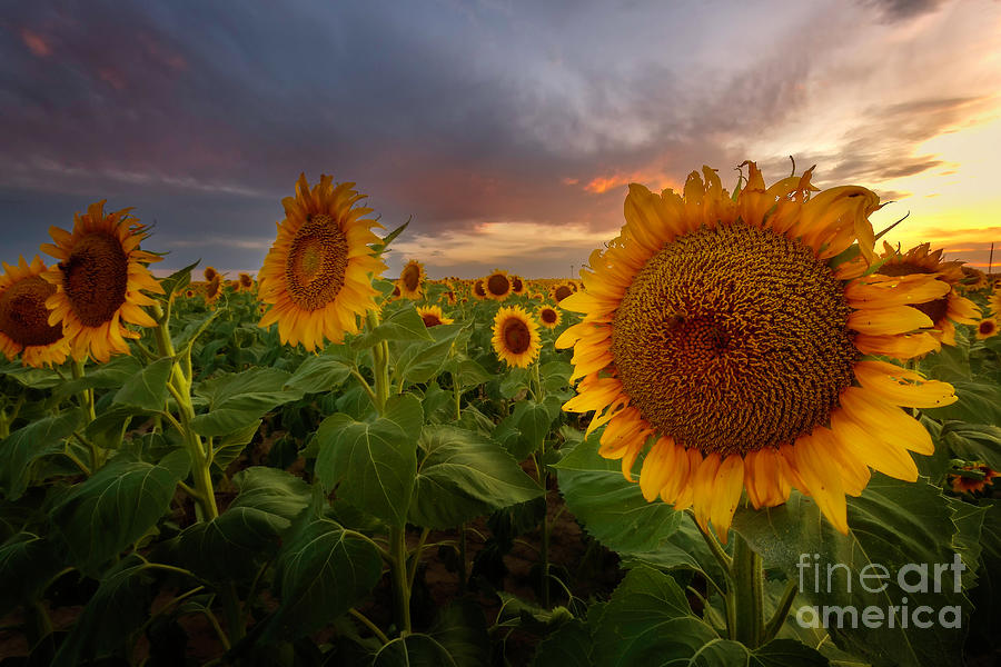 Close up of the Sunflower Fields at sunset by Ronda Kimbrow
