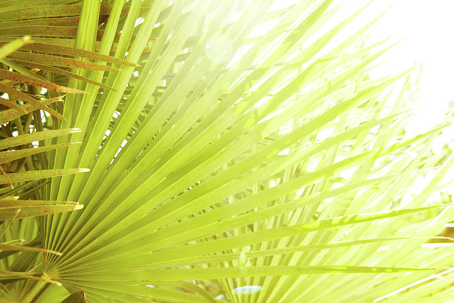 Close-up Of Tropical Palm Leaf In Sun Photograph by Gspictures