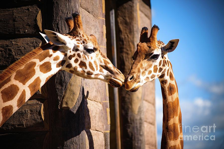 Close Up Of Two Giraffes Kissing Photograph by Warren Chan
