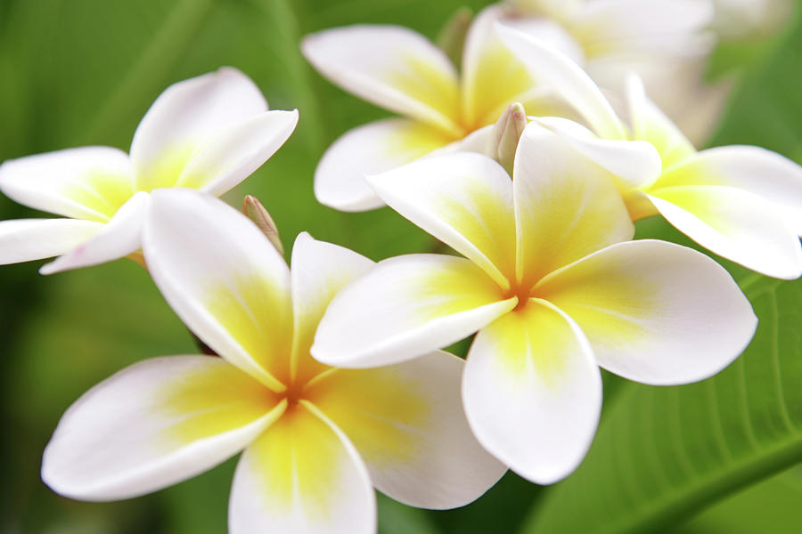 Close Up Of White And Yellow Plumeria Photograph by Hidesy