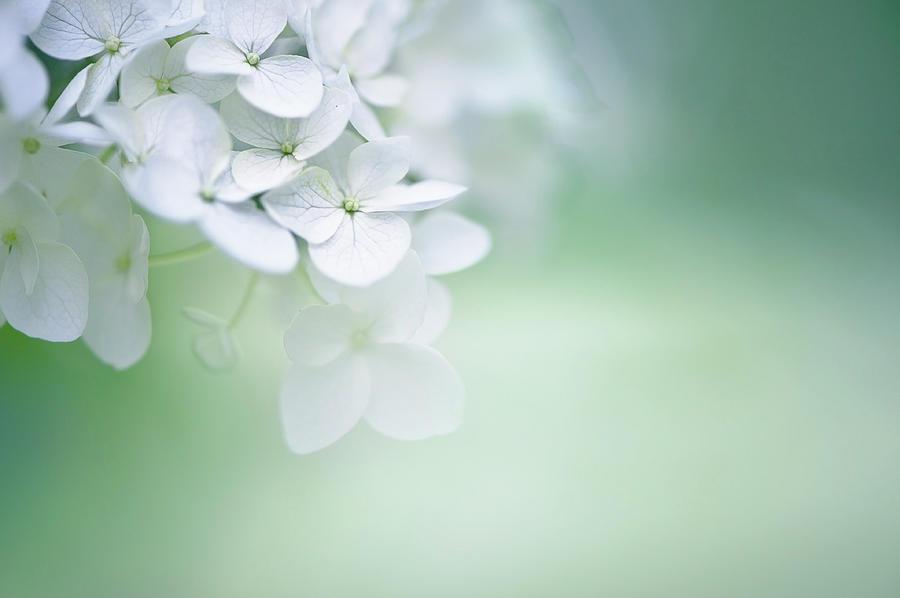 Close Up Of White Hydrangea Photograph by Elisabeth Schmitt