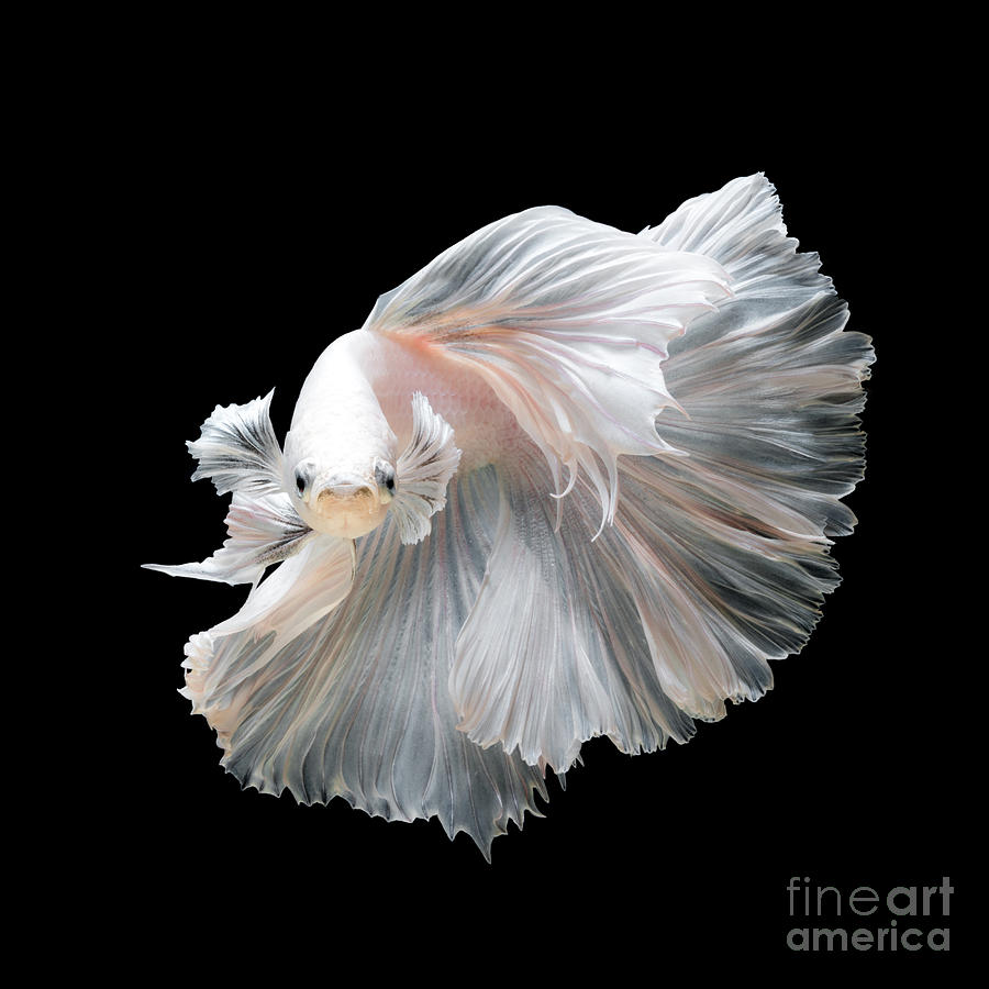 Fancy Photograph - Close Up Of White Platinum Betta Fish by Nuamfolio