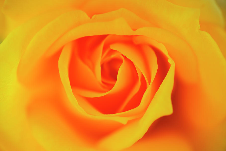 Close Up Of Yellow Rose Photograph by Imagewerks