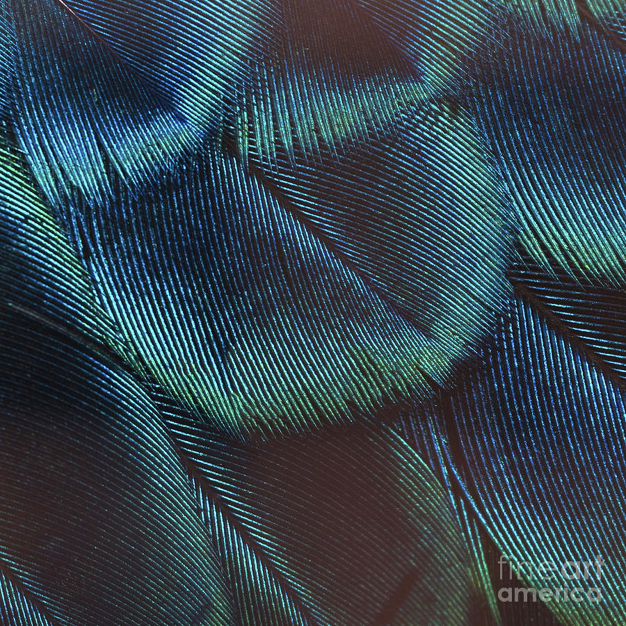 Feather Photograph - Close-up Peacock Feathers by Independent Birds