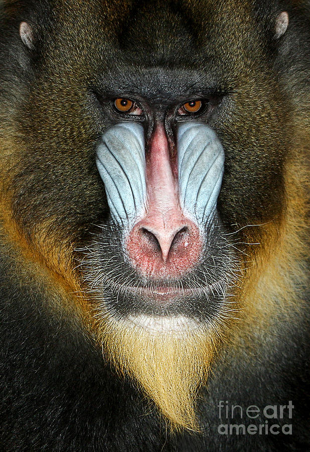 Nose Photograph - Close Up Portrait Of Baboon Monkey by Reinhold Leitner