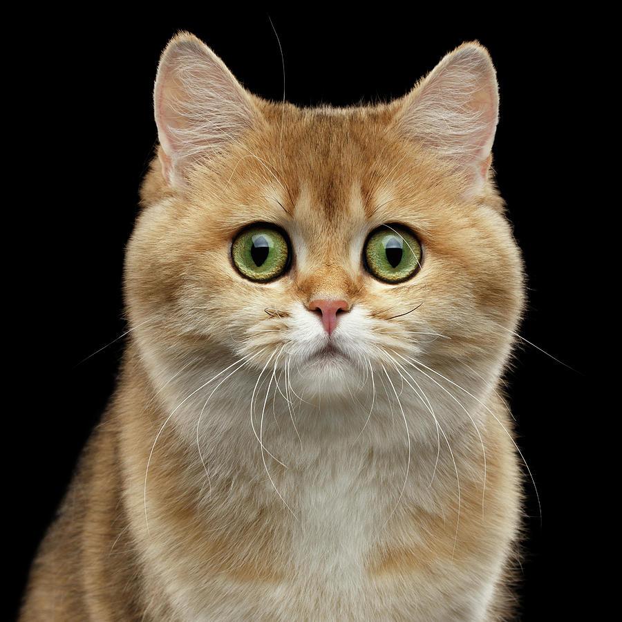 British Photograph - Close-up portrait of Golden British Cat with green eyes by Sergey Taran