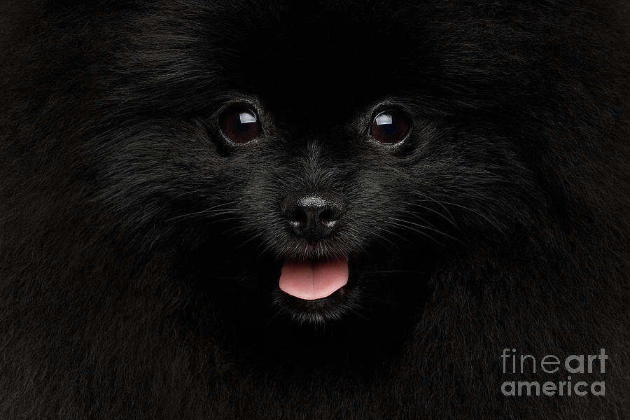 Close-up Portrait of Happy Pomeranian Spitz Dog by Sergey Taran