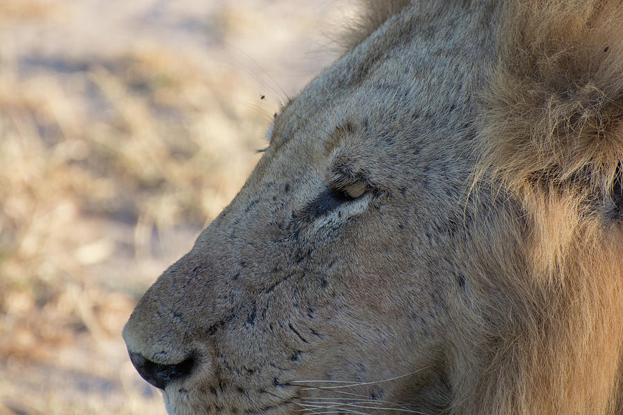 Close up profile of a male lion by Mark Hunter
