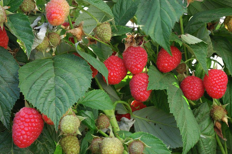 Close-up Ripening Organic Raspberries Photograph by Gomezdavid