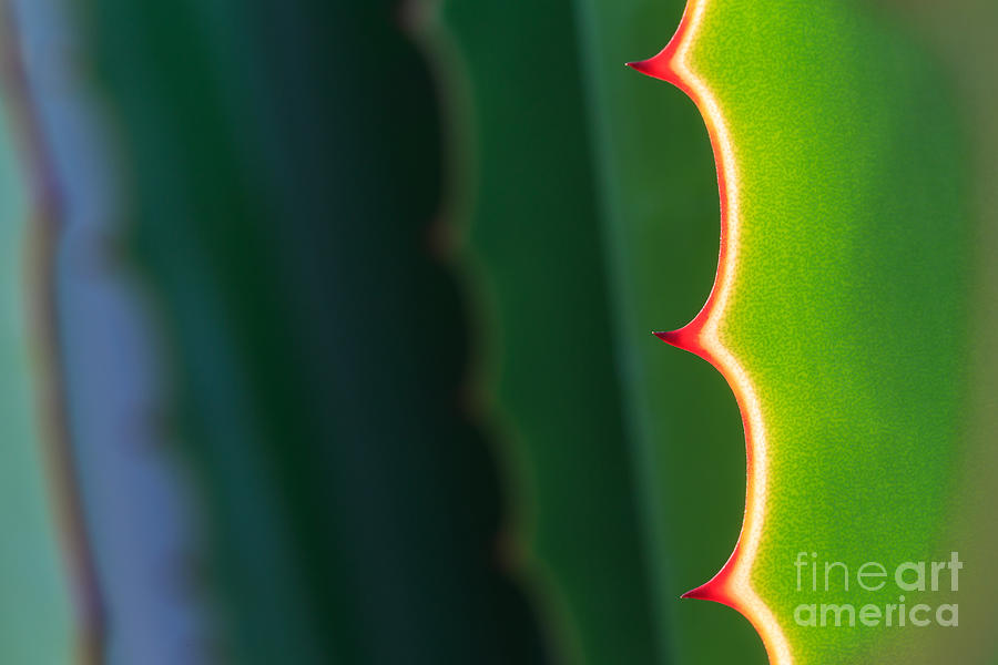 Gardens Photograph - Close Up Thorn Of Agave Plant In The by Piyawat Nandeenopparit