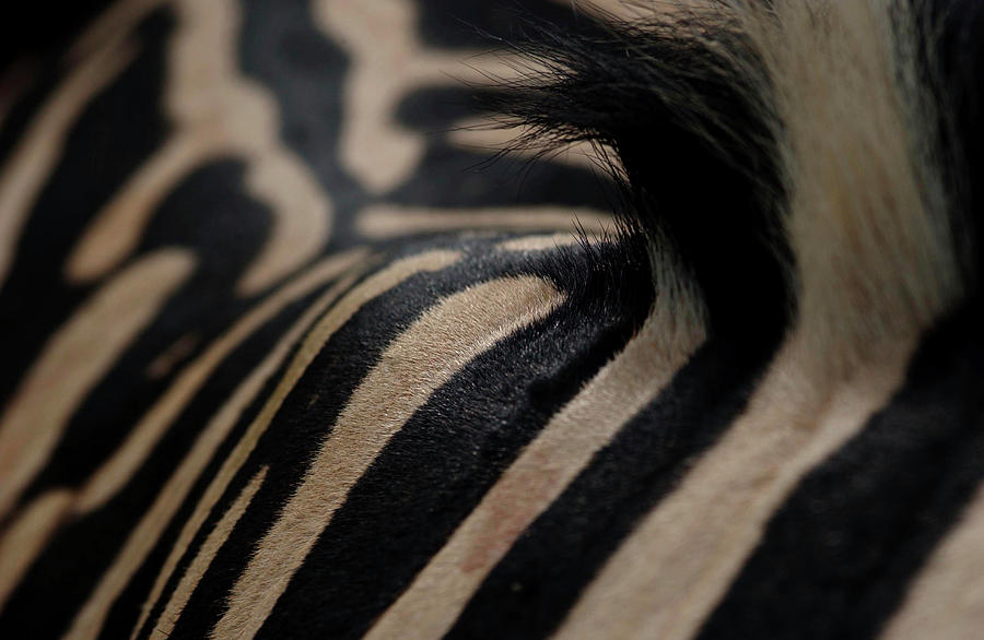 Close-up View Of Zebra Skin Photograph by Ryan Green