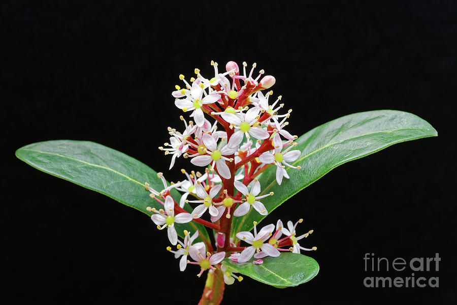 White Flowers Photograph - close up white flowers evergreen shrub Japanese Skimmia japonica by Robert C Paulson Jr