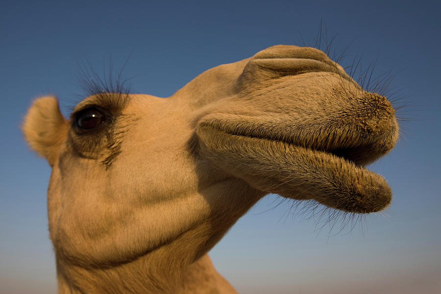Close View Of Camels Head Photograph by Martin Child