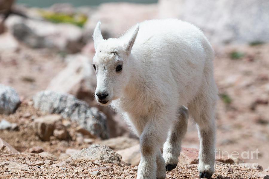 Closeup Mountain Goat Kid On Mount Evans Colorado Photograph