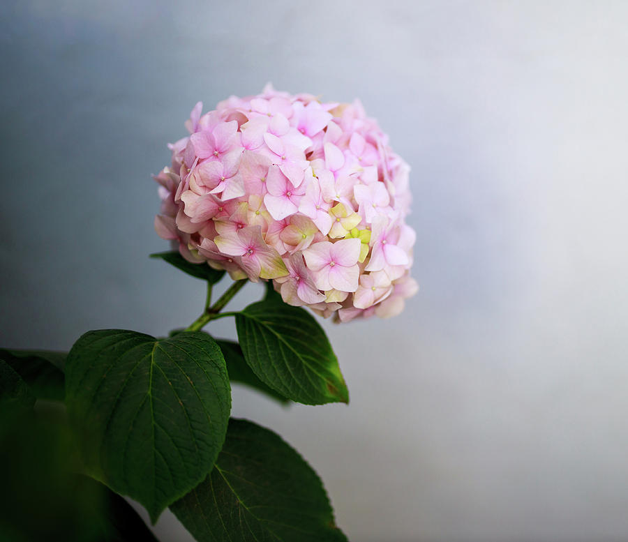Closeup of a Pink Hydrangea Flower Against a Bluish Gray Background by Ami Parikh