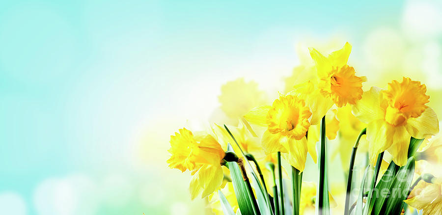 Closeup of beautiful spring daffodil bunch in garden with sunlig by Jelena Jovanovic