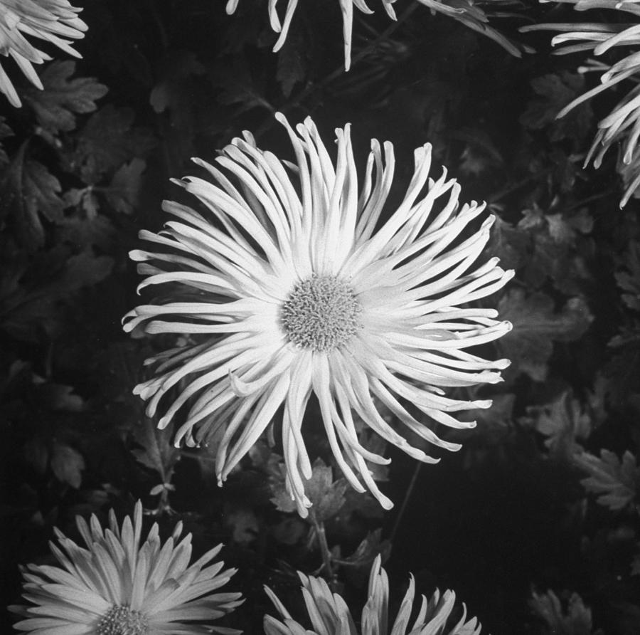 Closeup Of Chrysanthemums.  Photo By Go Photograph by Gordon Coster