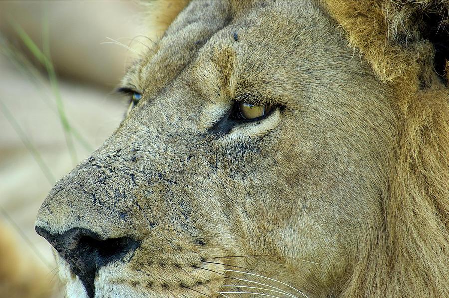 Closeup Of Male Lion Photograph by Aluma Images