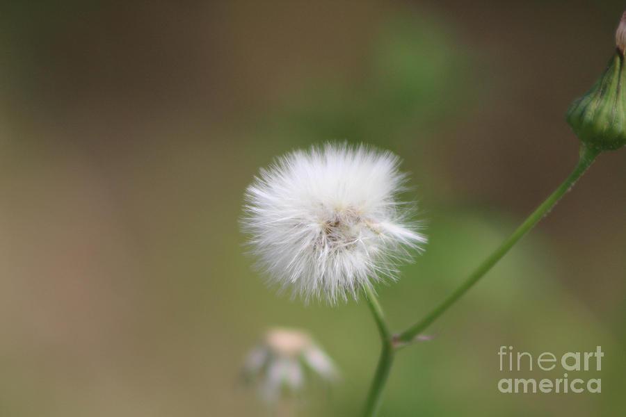 Closeup of Milkweed Seed Head Fluff by Colleen Cornelius