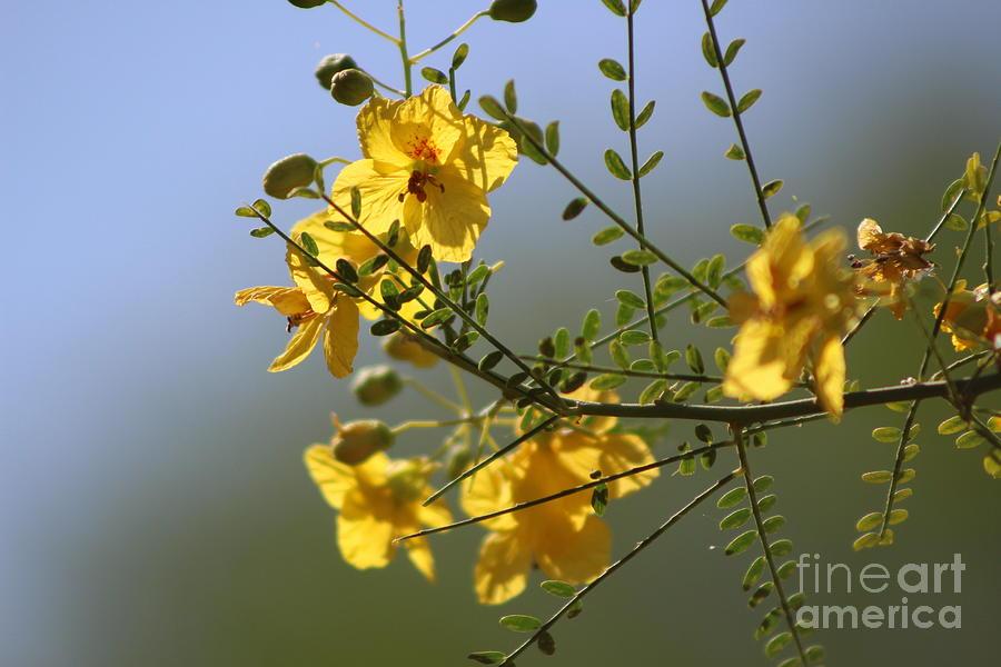 Palo Brea Photograph - Closeup of Palo Brea Branch in Bloom by Colleen Cornelius