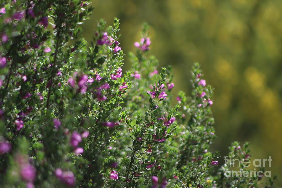 Palo Verde Photograph - Closeup of Texas Ranger Bush Against Yellow Palo Verde Blossoms by Colleen Cornelius