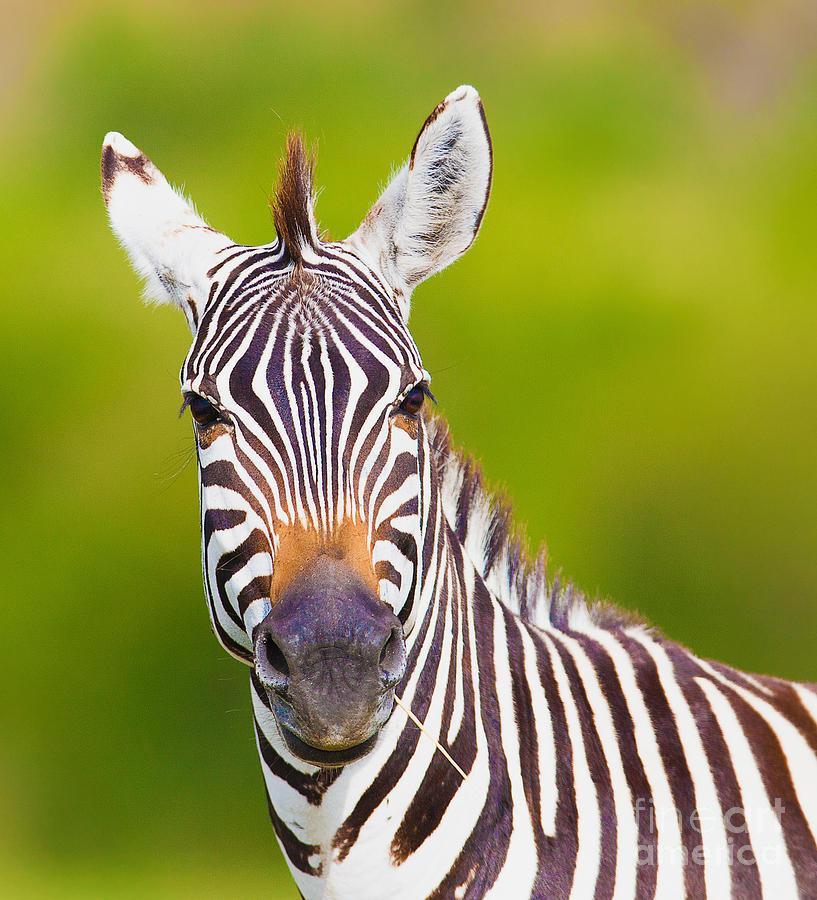 Game Photograph - Closeup On Beautiful Zebras Head by Sergei Kolesnikov