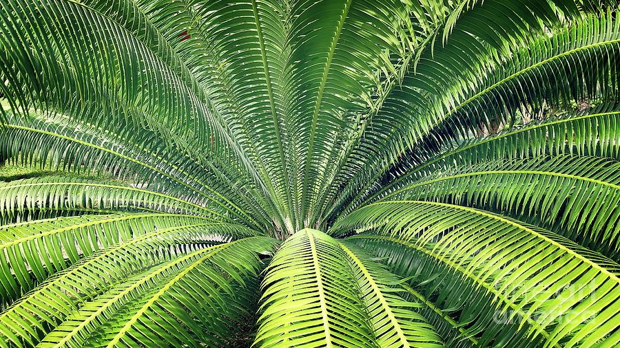 Closeup Palm Tree Leaves From Center Photograph By Suparerg Suksai