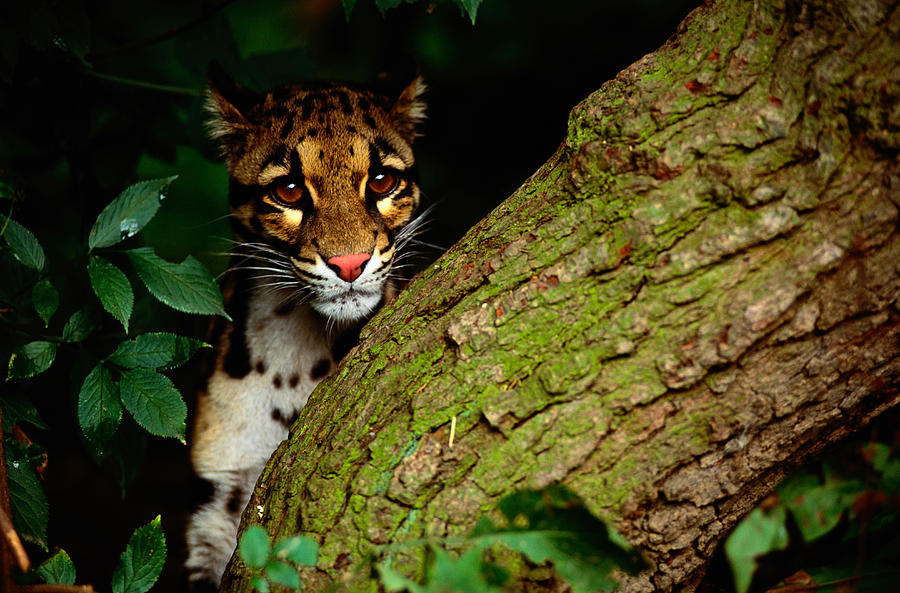 Clouded Leopard Neofelis Nebulosa Photograph by Art Wolfe