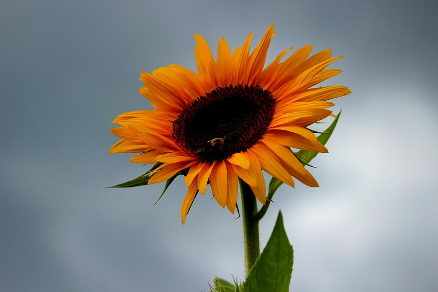 Clouds Photograph - Cloudy Sunflower by Candice Trimble