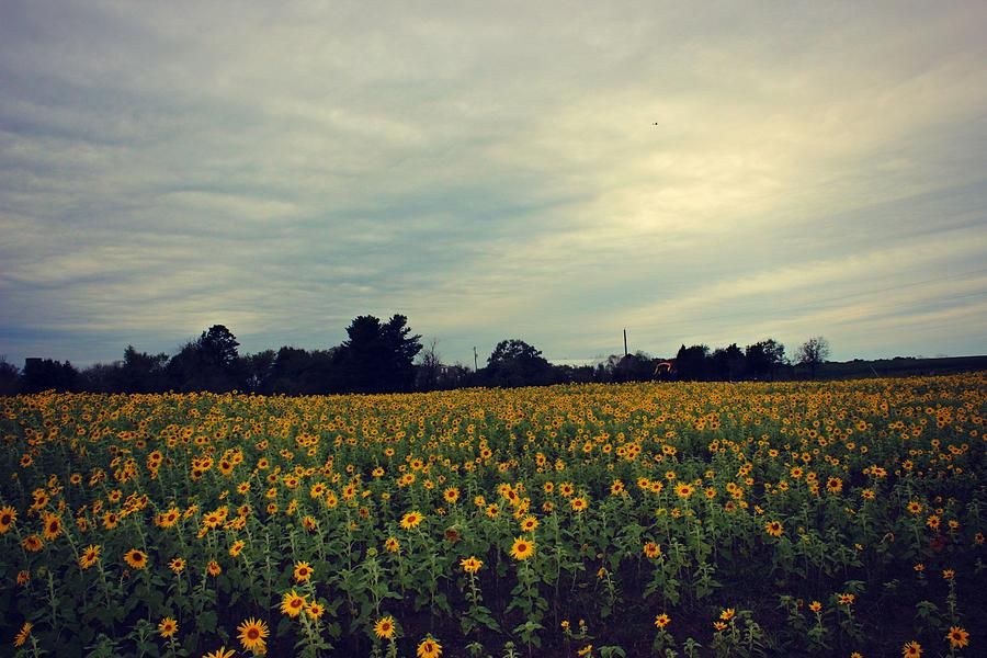 Sunflowers Photograph - Cloudy Sunflowers by Candice Trimble