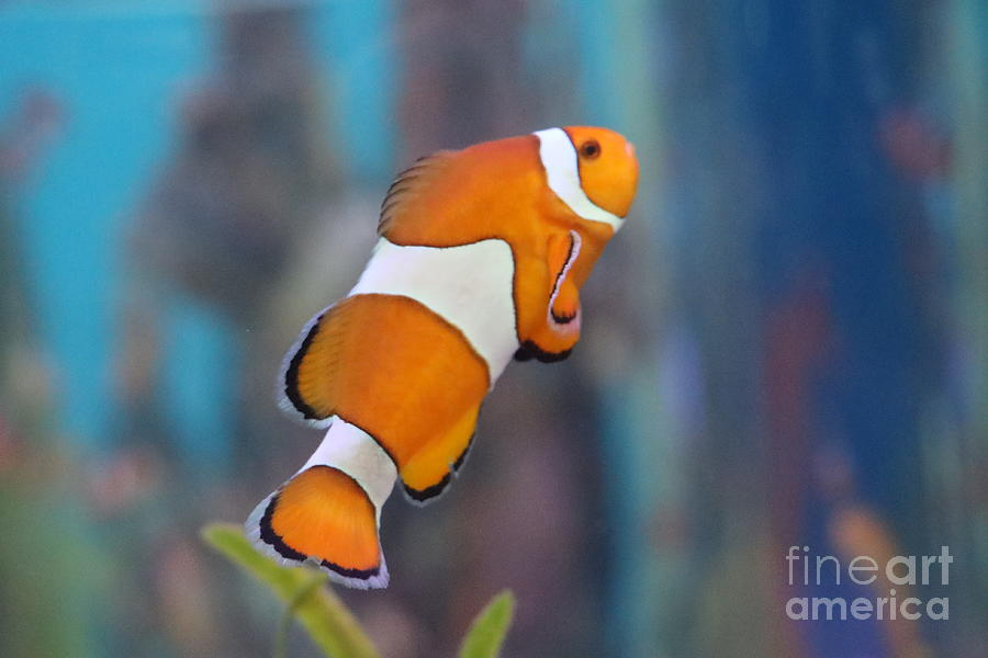 Clown Fish by Dwight Cook