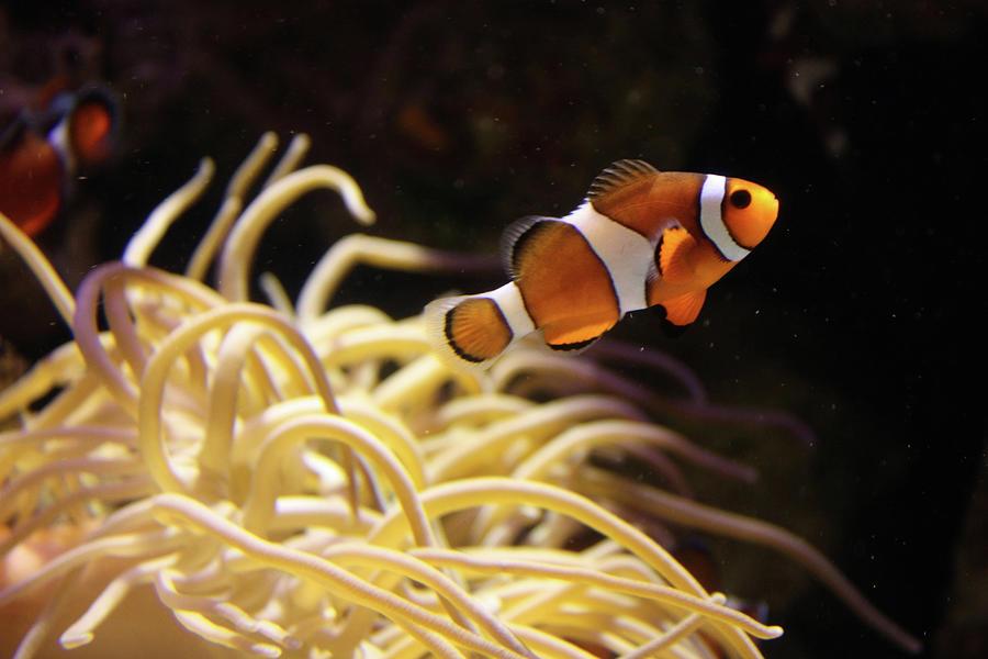 Clown Fish Photograph by Sarah8000