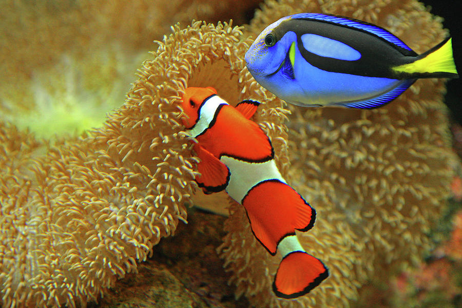Underwater Photograph - Clownfish And Regal Tang by Aamir Yunus