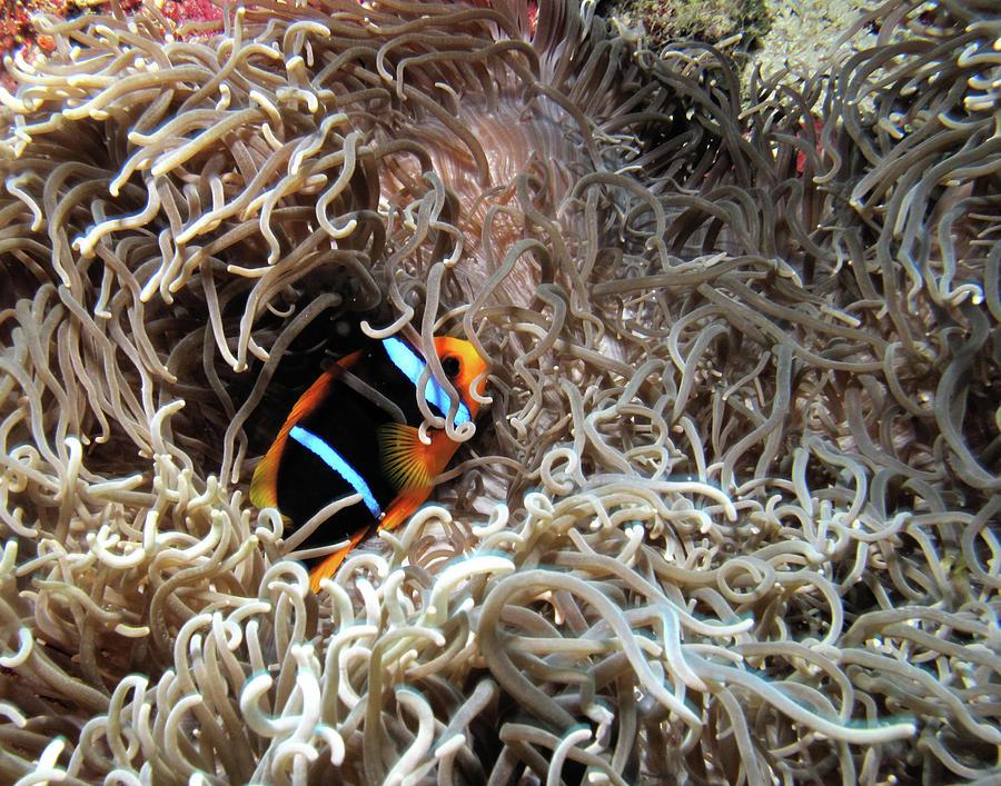 Nature Photograph - Clownfish And Spaghetti Anemone by Susan Burger