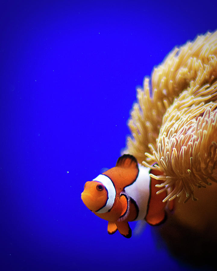 Clownfish In Aquarium Photograph by Planet Rudy Photography