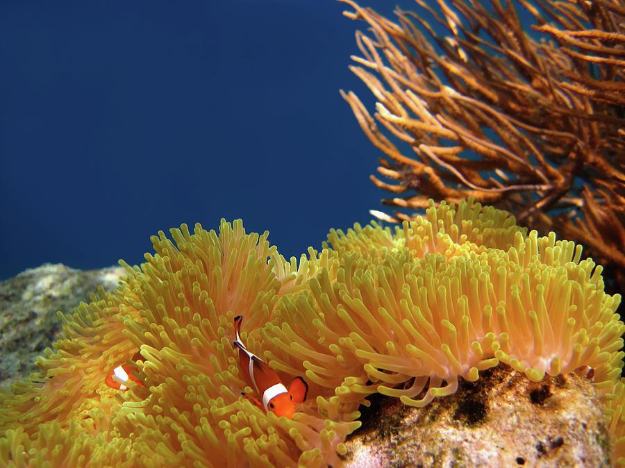 Clownfish In Coral Garden - Southeast Photograph by Fototrav