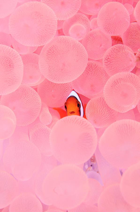 Clownfish In Corals Photograph by Yusuke Okada/a.collectionrf