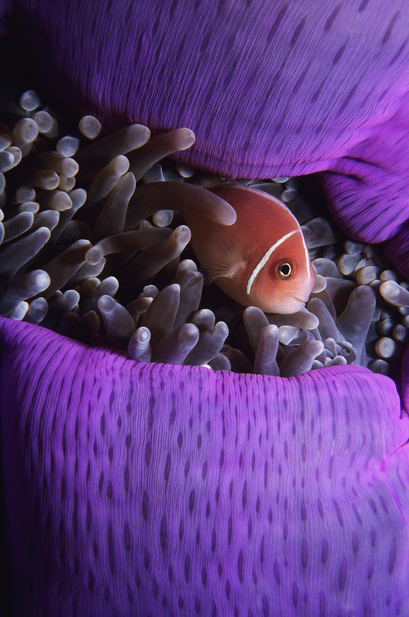 Clownfish In Purple Anenome Photograph by Tammy616