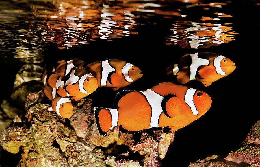 Clownfish In  School Photograph by Jodijacobson