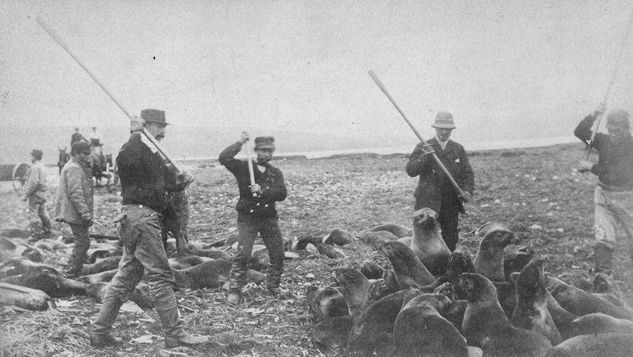 Clubbing Seals Photograph by Hulton Archive