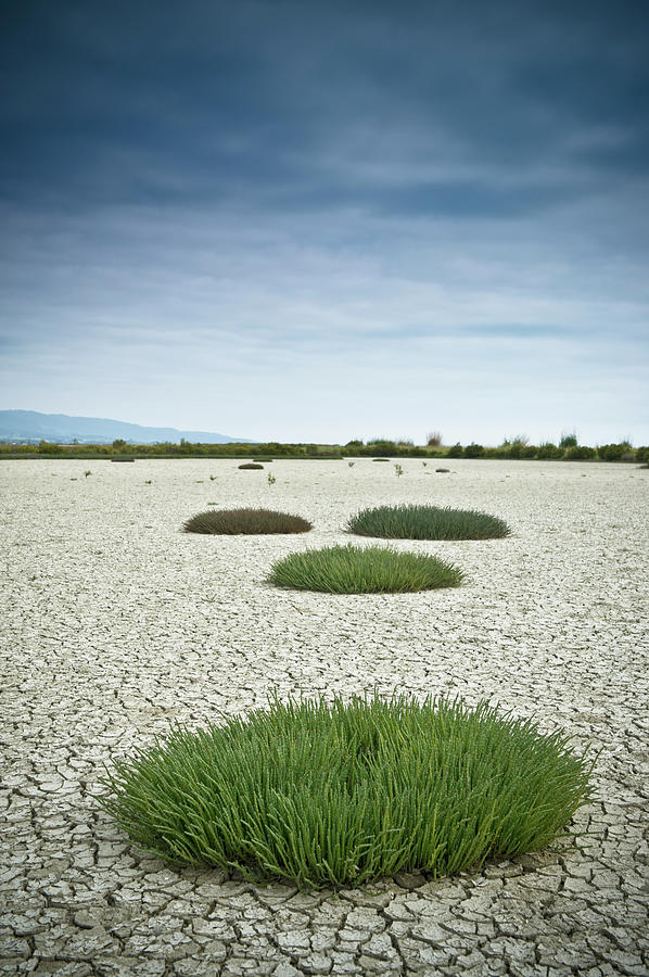 Clumps Of Grass Growing Through Cracked Photograph by David Duchemin / Design Pics