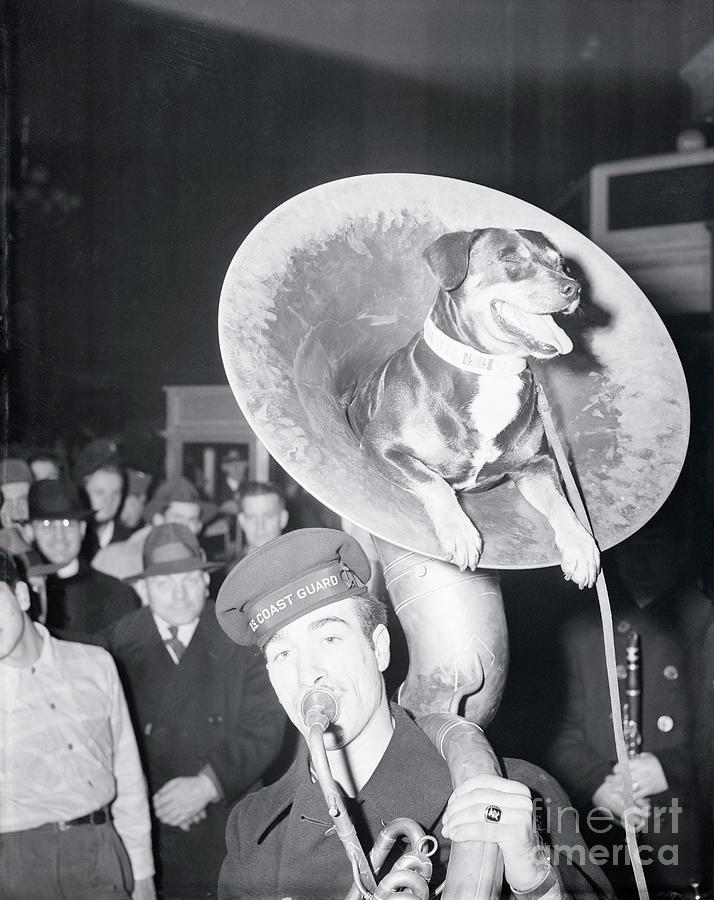Coast Guard Mascot Dog Riding In Tuba Photograph by Bettmann