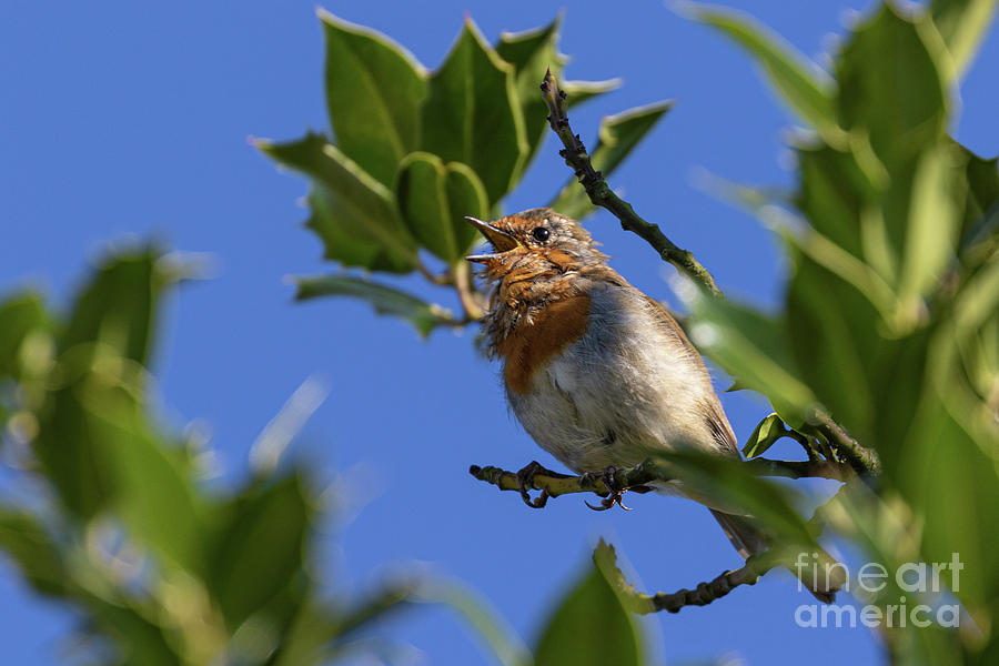 Cock  Robin Singing by Brian Roscorla