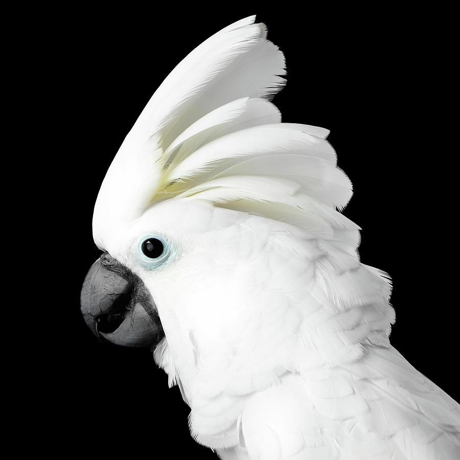 Cockatoo Photograph - Cockatoo Alba by Sergey Taran