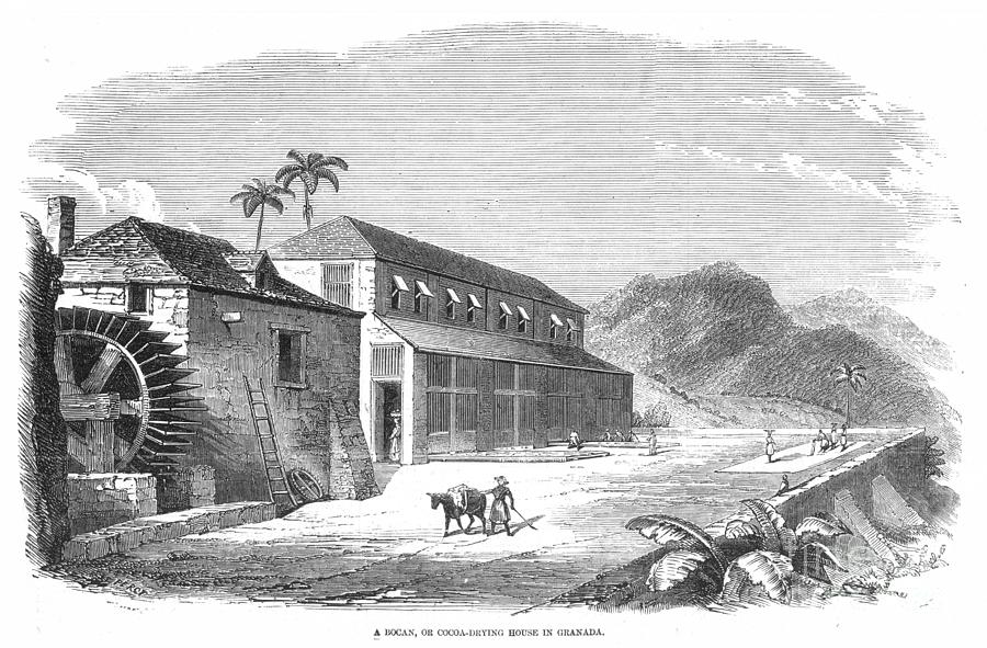 COCOA PLANTATION by Granger