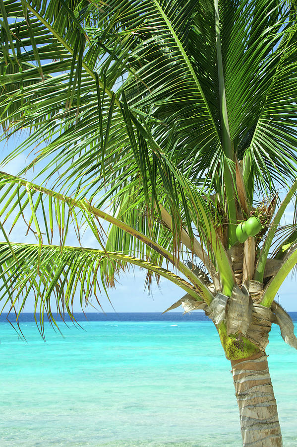 Coconut Palm On Caribbean Beach, Travel Photograph by 1photodiva