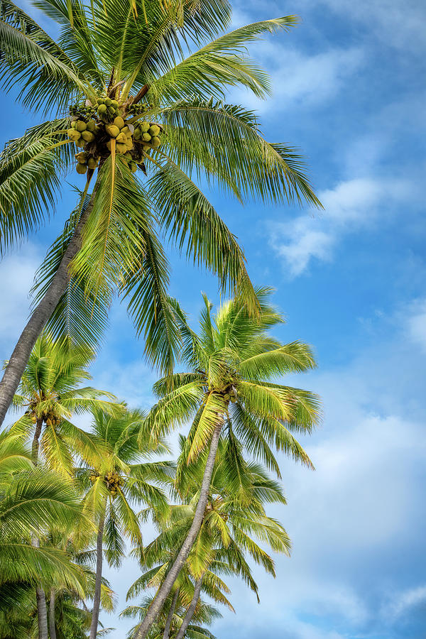 Coconut Palm Trees against the blue sky at Kuto Bay beach by Daniela Constantinescu
